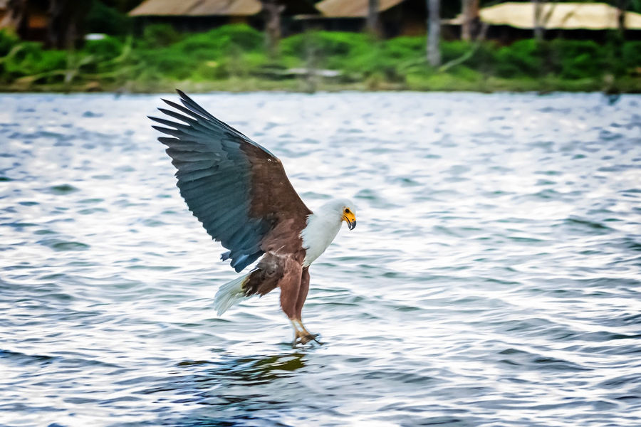 African fish eagle snatching a fish from the water after being attracted by our whistling guide. It took several trials and baitfishes, the eagles seemed not to be too hungry that day. Nevertheless a very interesting experience for us! Haliaeetus Vocifer Beak Catch Crescent Island Hungry Kenya Africa African Fish Eagle Baitfish Bird Claw Feather  Fish Flight Food Hunting Lake Large Naivasha Prey Slippery Snatching Talons Water Wildlife