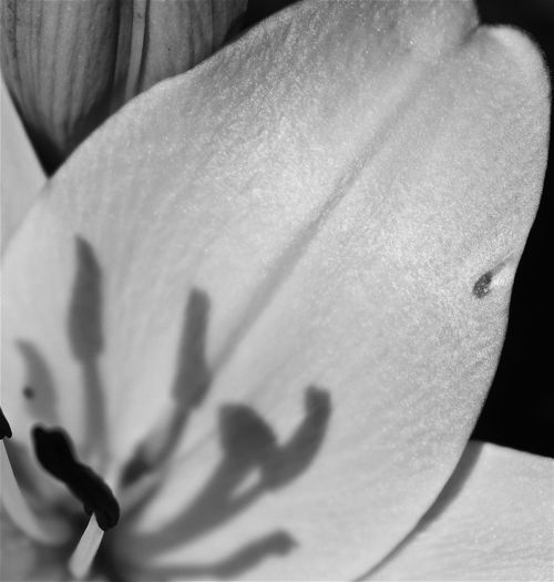 black & white close-up lily B & W Close-up B & W Inside Lily Beauty In Nature Beauty In Nature Black And White Black & White Nature Black And White Black And White Close-up Flower Collectio Black And White Collection  Black And White Eyeem Collec Black And White Nature Black And White Photography Black And White Shadows Black And White Stam Blackandwhite Close-up Shadow Light And Shadow Nature Shadow Lily Shadow Photography Shadowplay Shadows & Lights Stamen And Pistil Stamen And Pistil Close- Stamen Close-up\ Stamen Of The Flower