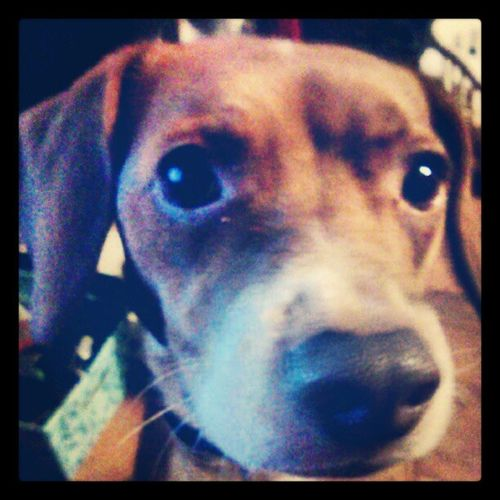 Day 6: pets; this is koko! She's a pitbull-beagle Decemberphotochallenge Oets Dogs Prettypuppy 2012