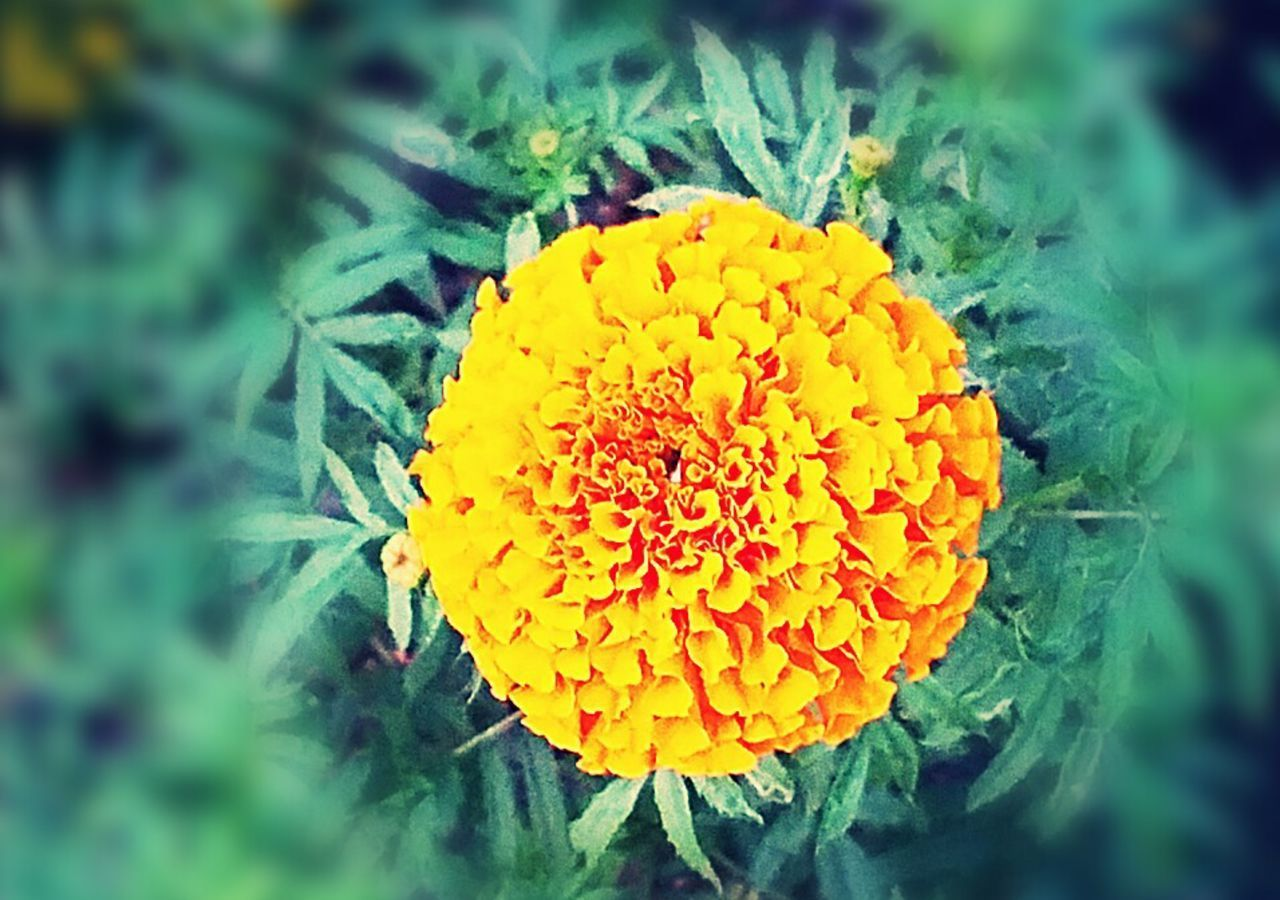 plant, flower head, fragility, flowering plant, inflorescence, growth, flower, vulnerability, close-up, yellow, petal, beauty in nature, freshness, marigold, nature, day, green color, no people, focus on foreground
