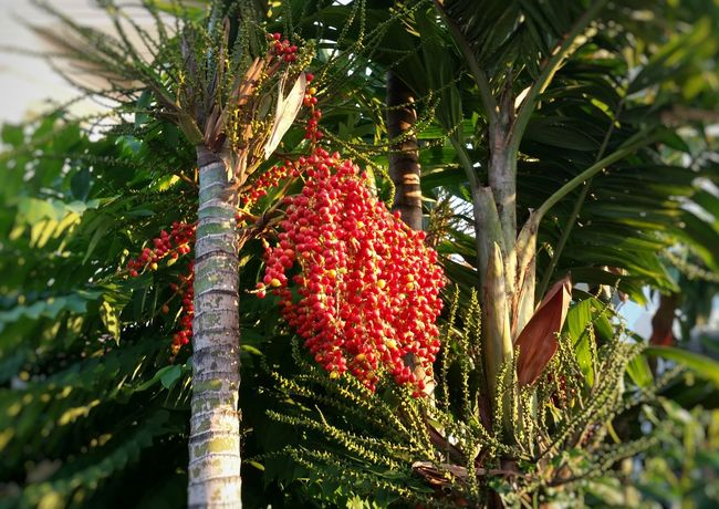 fruitful Plant Fruits Fruitful Palm Trees Berries Seeds Garden Red Seeds Sunlight Btight Red Productive Bunch Futile Abundance Survival Of The Fittest Squirrel Food