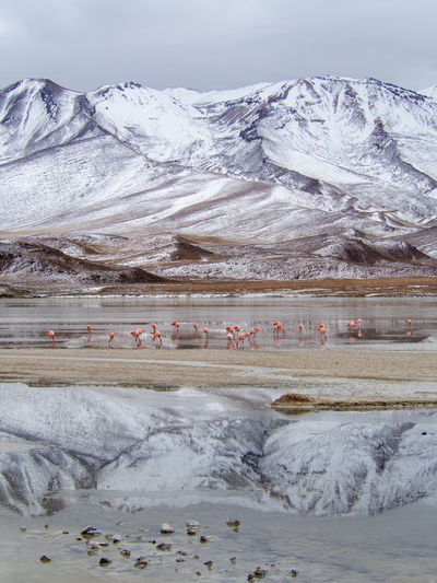 Flamingos feeding at the Laguna Hedionda in Bolivia, South America Beauty In Nature Cold Temperature Day Desert Environment Group Of Animals Ice Lake Landscape Mountain Mountain Range Nature No People Outdoors Scenics - Nature Snow Snowcapped Mountain Tranquil Scene Tranquility Water Winter