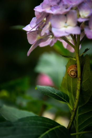 Green EyeEm Nature Lover Nature Nature Photography Beauty In Nature Naturelovers Tiny Snail Hydrangea Flower Head Flower Petal Purple Close-up Plant