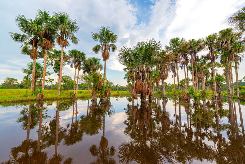 Grove of palm trees being reflected in a pond in the Amazon rain forest near Leticia, Colombia Amazon Amazonas Amazonia Colombia Day Foliage Forest Jungle Landscape Leticia Nature No People Outdoors Palm Tree Rain Forest Rainforest Reflection Sky South America Travel Tree Tropical Tropical Climate Water