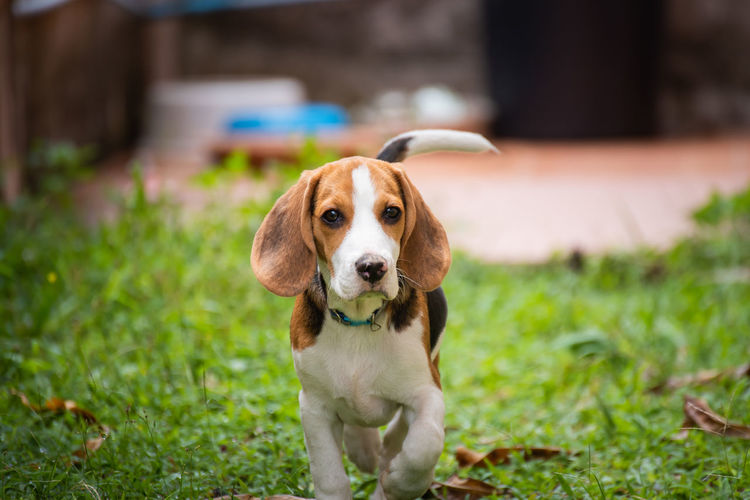 Animal Animal Head  Animal Themes Beagle Canine Day Dog Domestic Domestic Animals Focus On Foreground Grass Looking Looking At Camera Mammal No People One Animal Pets Plant Portrait Sitting Vertebrate