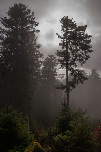 Black Forest Forest Darkness darkness and light Tree Plant Fog Growth Beauty In Nature Tranquil Scene Nature Environment WoodLand Outdoors No People Weather Winter Clouds