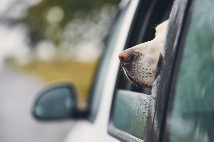Close-up of a dog looking through car window