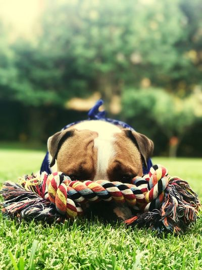 Puppy Dog Bouldog English Bulldog Grass Plant Day Close-up Nature No People Field Land Focus On Foreground Sport Ball Green Color Outdoors One Animal Animal Themes Animal Team Sport Vertebrate Sports Equipment Mammal