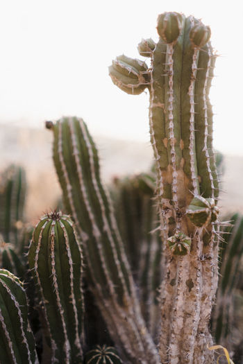 Cactus in Desert Plant Growth Nature No People Day Outdoors Focus On Foreground Land Succulent Plant Close-up Cactus Tranquility Beauty In Nature Sky Field Arid Climate Cactus Flower Marocco Landscape Africa North Africa Desert Thorn Green Color Plant Stem Spiked Sharp Spiky Morocco Morocco Landscape