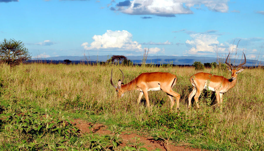 Scenic View Of Antelopes On Grassy Field Against Sky