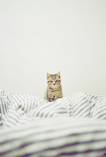 Tabby cat in bed