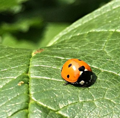 Ladybug Ladybug Insects  Entemology Orange Ladybugs Insect Insect Photography Macro Photography Macro Insects
