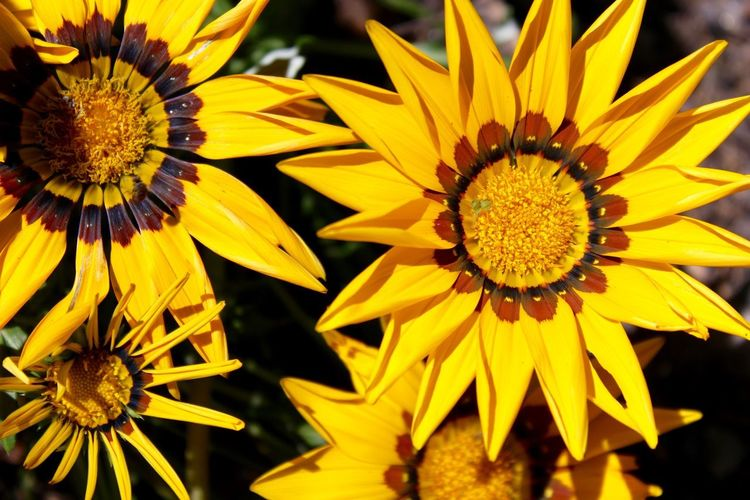 Beauty In Nature Blooming Close-up Day Flower Flower Head Fragility Freshness Gazania Growth Nature No People Outdoors Petal Plant Pollen Yellow