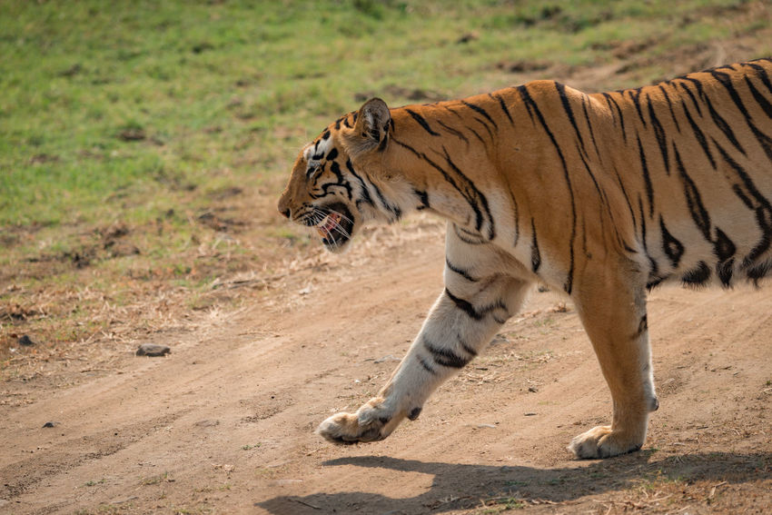 BeNGaL TiGeR Tiger