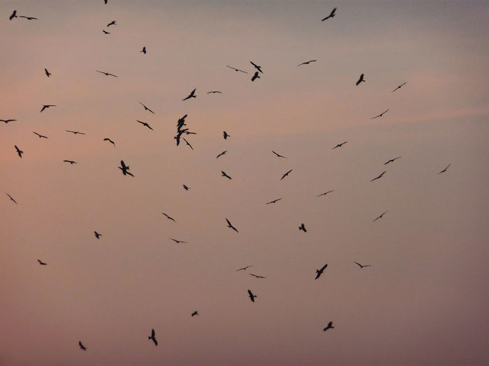 FLYING VULTURES IN THE EVENING SKY Bird Bird Of Prey Flying Colony Flock Of Birds Silhouette Togetherness Animal Themes Sky Vulture Spread Wings Group Of Animals Flapping Flight Herd