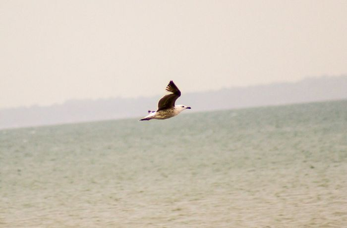 Seagull in flight across the sea. Nature_collection EyeEm Best Shots Side View Selective Focus Close-up Copy Space Clear Sky Motion Capture Motion Seagull Mammal EyeEm Selects Animal Themes Vertebrate Animals In The Wild Animal Animal Wildlife Bird Flying One Animal Water Sea Mid-air Spread Wings Nature Beauty In Nature Scenics - Nature Day No People Outdoors