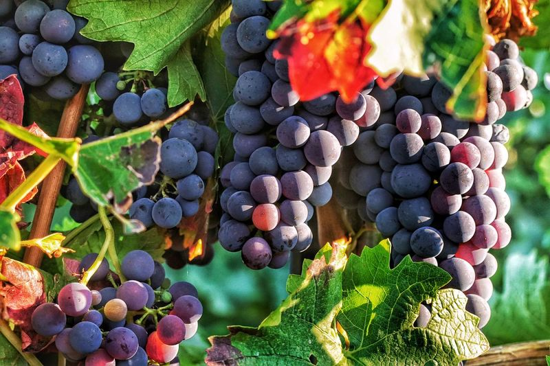 Hhhhmmmm....yummy Grape Vineyard Outdoors Plant Multi Colored No People Colorful Alzey Weinberge Trauben