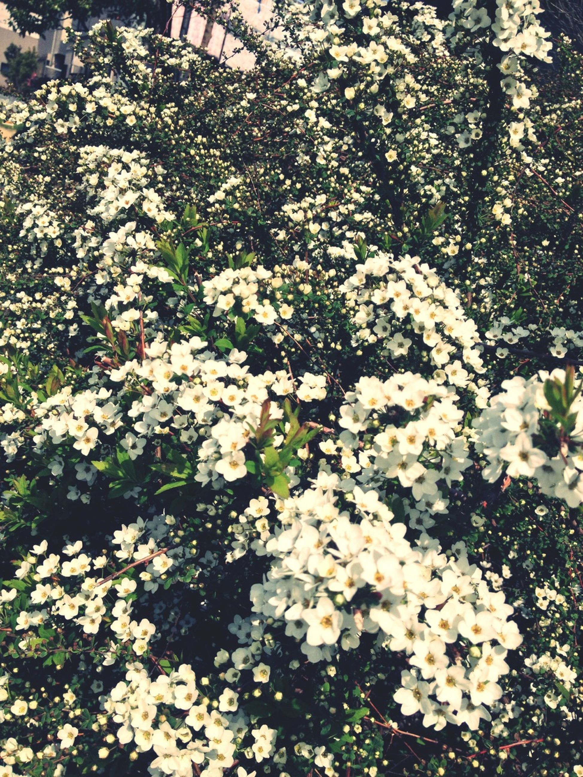 flower, freshness, growth, fragility, white color, beauty in nature, petal, blooming, nature, blossom, flower head, in bloom, high angle view, plant, springtime, abundance, tree, park - man made space, botany, day