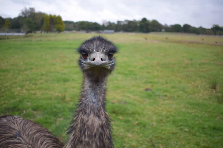 Emu Field One Animal Nature Beauty In Nature Animal Themes Outdoors Young Adult Farm Animal Farm Farmland Uk Tame Tranquil Scene Feathers❤️ Feathers Of Birds Feathers