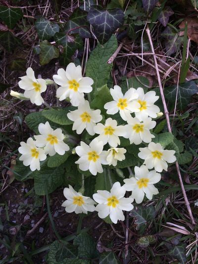 Primrose Flowers Wildflower Wildflowers In Bloom Yellow Flowers Nature_collection Nature Photography Nature Cornwall Countryside