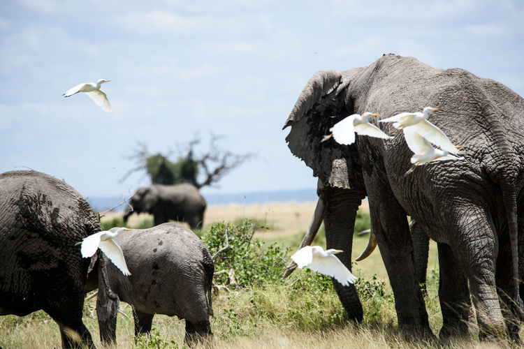 Egret Flying By Elephants Grazing On Grassy Field