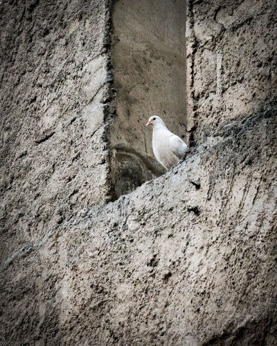 Pigeon Holed Animal Architecture Bird Built Structure Day Dove One Animal Outdoors Perching Textured  Wall Wall - Building Feature