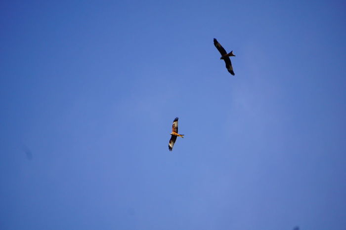 Animal Themes Animal Wildlife Animals In The Wild Bird Blue Clear Sky Day Flying Low Angle View Mid-air Nature No People One Animal Outdoors Red Kite Red Kite In Flight Red Kites Spread Wings