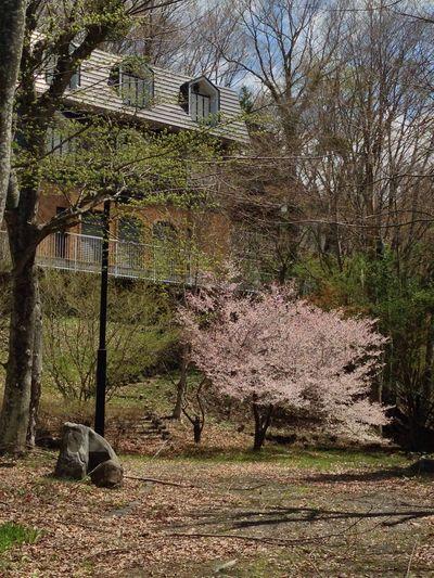 山梨 山中湖 富士桜