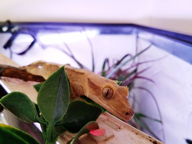 ...say cheese... Crested Gecko Gecko Geckolove Ozzy Malegecko MYS7EDGEPHOTOS MYS7EDGE No People Indoors  Close-up Day Nature