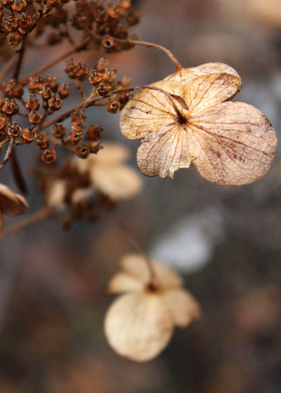 Alive Yet Dead Nature Plant Close-up Flower Head Brown No People Beauty In Nature Winter Branch Outdoors Tree Freshness Day