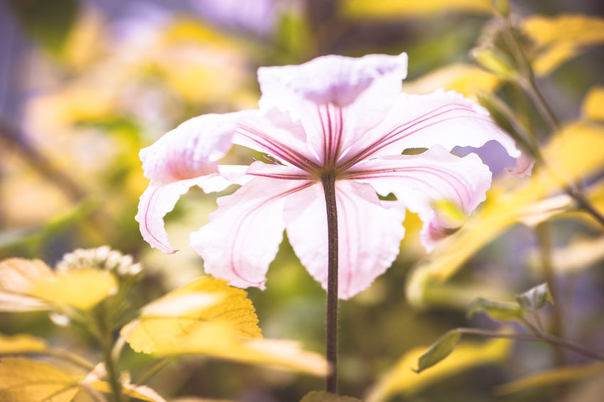 Beauty In Nature Botany Clematis Petals Close-up Day Flower Flower Head Flowering Plant Focus On Foreground Fragility Freshness Growth Inflorescence Nature No People Outdoors Petal Plant Selective Focus Vulnerability  Yellow