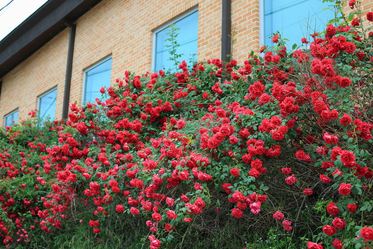 Red flowering plants against building