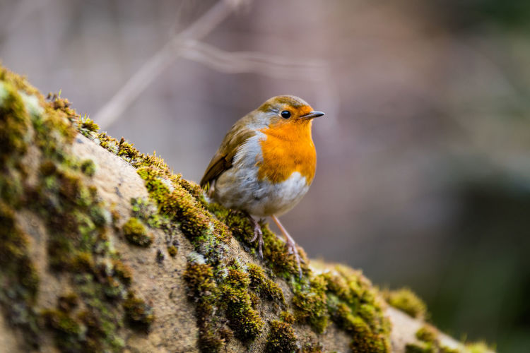 European robin (Erithacus rubecula) Bird Photography Erithacus Rubecula European Robin Orange Red Animal Themes Animal Wildlife Animals In The Wild Beauty In Nature Bird Close-up Day Flycatcher Focus On Foreground Moss Nature No People One Animal Outdoors Perching Robin Robin Redbreast