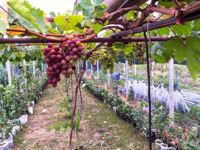 View of fruits growing in vineyard