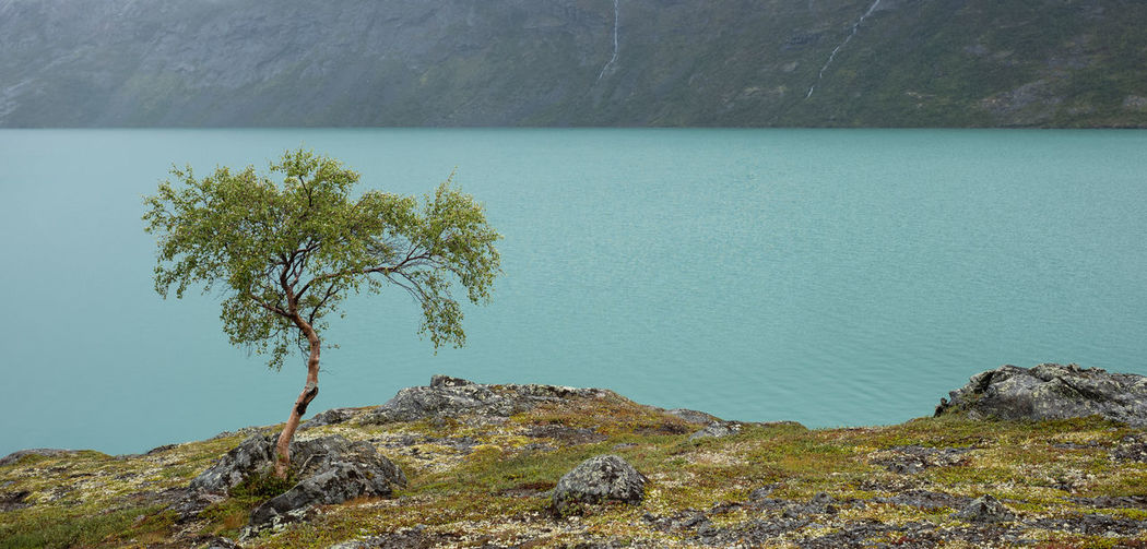 Single tree near a mountain lake Water Tranquil Scene Tranquility Beauty In Nature Scenics - Nature Tree Day Non-urban Scene No People Mountain Outdoors Jotunheimen Norway Gjende Birch Land Nature Landscape Scenics Lake