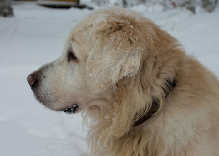 Pepe Animal Hair Animal Themes Close-up Cold Temperature Day Dog Domestic Animals Golden Retriever Mammal No People One Animal Outdoors Pets Retriever Snow Weather Winter