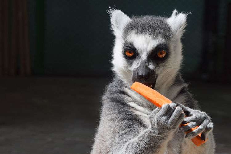 Close-up portrait of lemur eating carrot in zoo