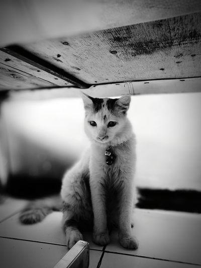 Domestic Cat Domestic Animals Indoors  Close-up Looking At Camera Pet Portraits