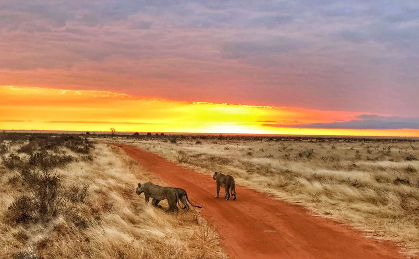 Lioness walking on dirt road passing through landscape