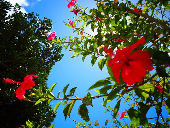 Beauty In Nature Blooming Close-up Day EyeEm Nature Lover Flower Flower Head Fragility Freshness Green Color Growth Haterumajima Hibiscus Leaf Live For The Story Low Angle View Nature No People Outdoors Petal Plant Red Sky TheGreatOutdoors Tree