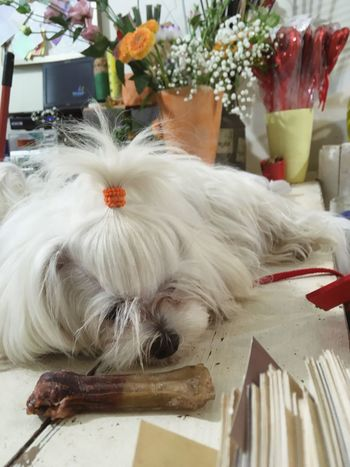 Indoors  Pets Domestic Animals Animal Themes One Animal No People Mammal Flower Close-up Day Dog