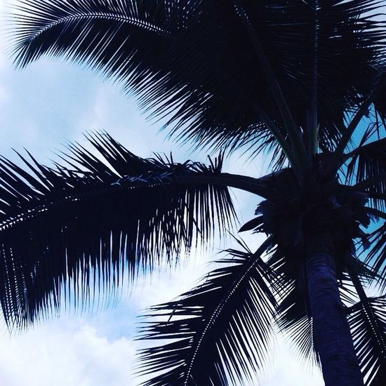 That beautiful Fiji sky Palm Tree Tree Palm Leaf Low Angle View Palm Frond Tree Trunk Growth Tropical Climate Beauty In Nature Sky Nature Day Outdoors Scenics No People Frond Close-up Connected By Travel Lost In The Landscape Perspectives On Nature