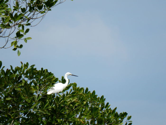 Low Angle View Of Great Egret Perching On Tree Against Sky
