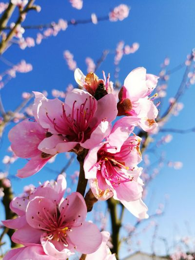 Here comes Spring. Huawei P9 Leica Flower Close-up Nature Beauty In Nature Springtime Pink Color Blossom Flower Head Blue Fragility Sky No People Branch Growth Freshness Outdoors Day Tree