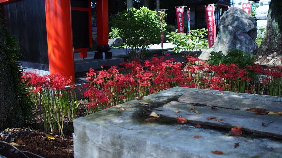 朱塗りの山門 Spiderlily Temple Buddhism Flowerporn Red Photowalk M.zuiko Streamzoofamily