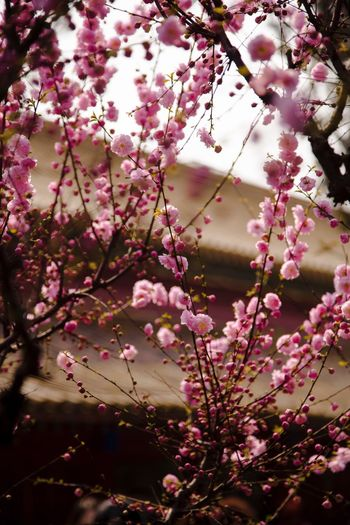 Flower Blossom Branch Beauty In Nature Fragility Springtime Growth Nature Freshness Tree Pink Color Selective Focus Outdoors Petal No People 故宫 Spring Freshness Beauty In Nature