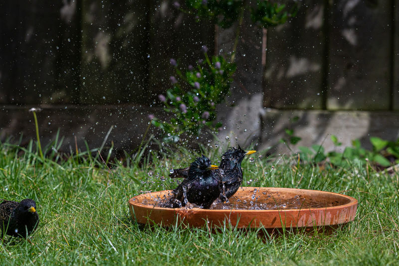 Two starlings having a splash in a bird bath