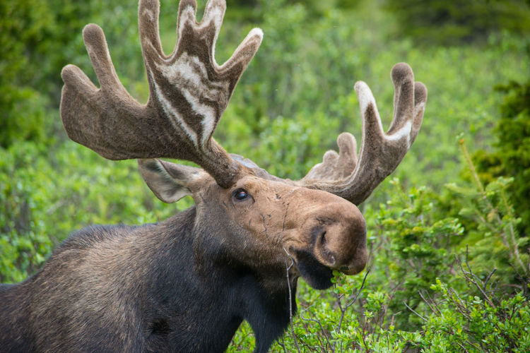 Close-up of moose relaxing in forest