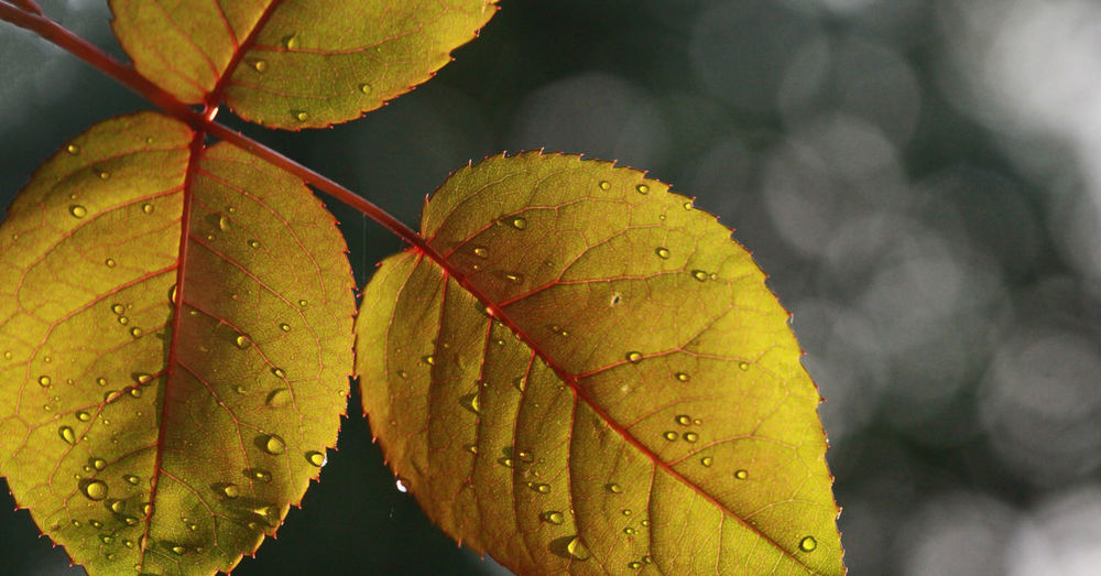 Close-up of wet yellow leaves