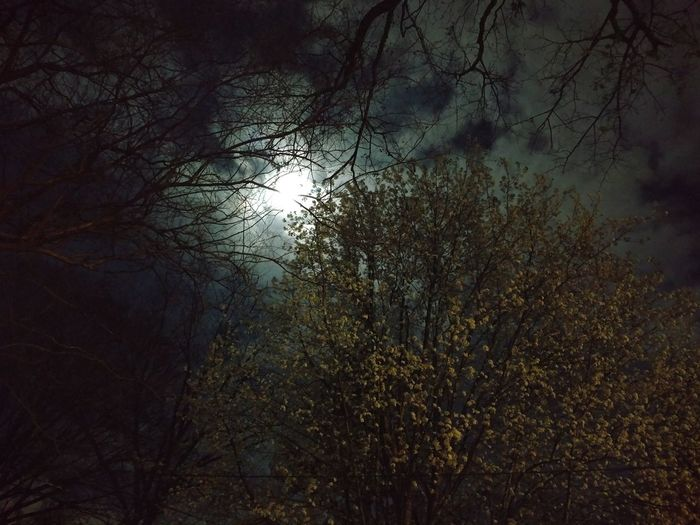 Moonlight Through The Trees Moonlight On Cloudy Sky Bradford Pear Under Moonlight Backgrounds Tree Drop Full Frame
